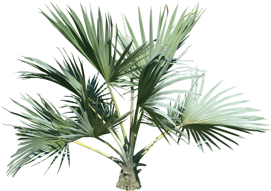 Top Palm Tree | PNGlib – Free PNG Library
